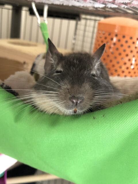 緑色のハンモックで眠るデグー