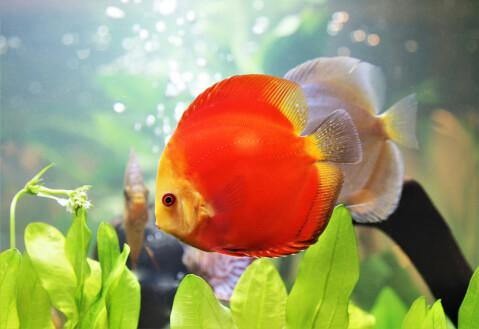 ディスカス 熱帯魚 通販 値段 飼育 寿命 魚 混泳