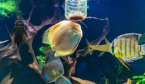 ディスカス 餌 熱帯魚 通販 値段 飼育 寿命 魚 混泳