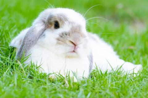 disease_of_the_rabbit