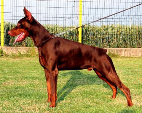 ドーベルマン 性格 子犬 耳 ブリーダー ブラウン