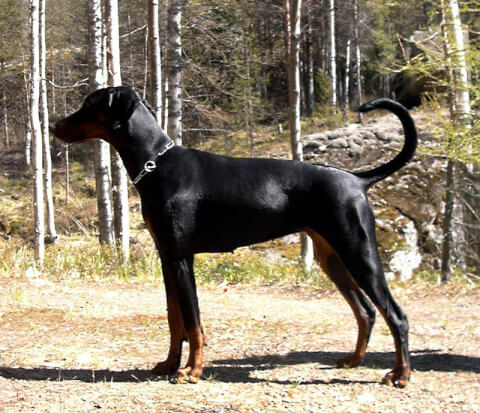 doberman-tail