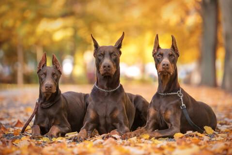 ドーベルマン 性格 子犬 耳 ブリーダー 歴史