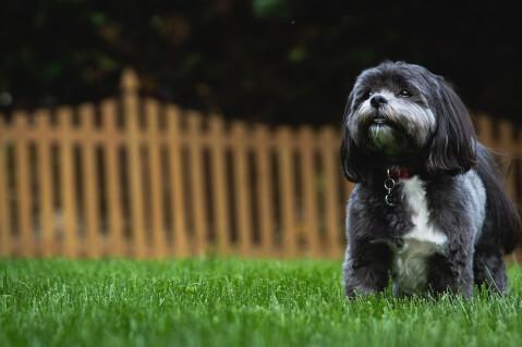 シーズー 犬 人気 犬種 種類 大型 名前 小型 体重 寿命