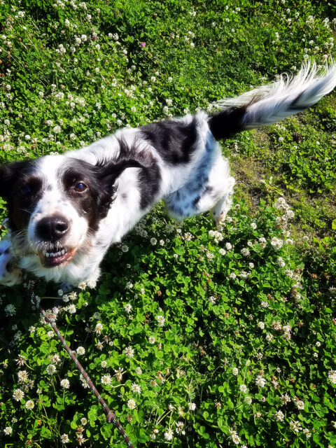 dog_and_white_clover