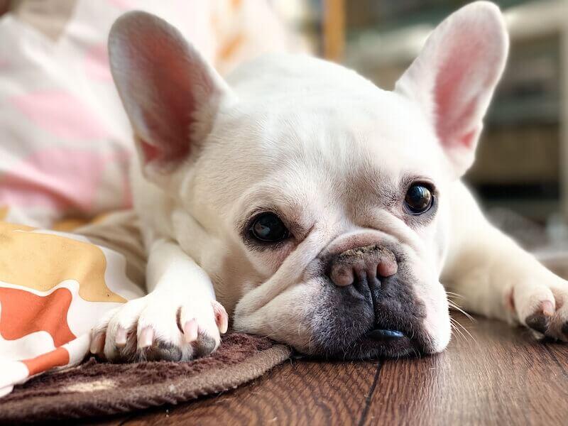 掃除 犬 の 耳 【獣医師監修】犬の耳掃除。どれくらいの頻度ですればいいの?注意点は?