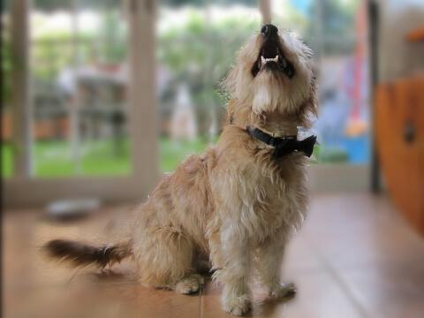 dog_howling