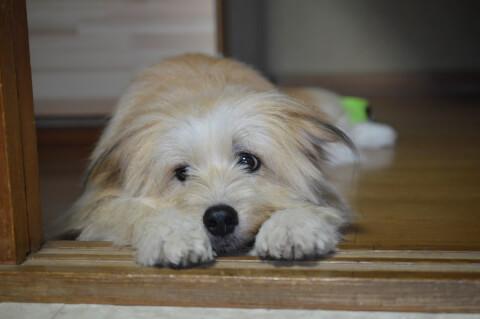 dog_lying_down