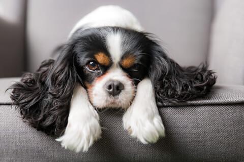 キャバリア スパニエル 犬 人気 犬種 種類 大型 名前 小型 体重 寿命