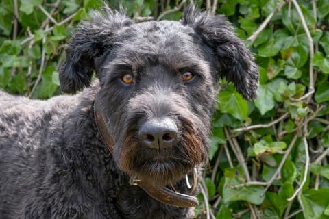 ブービエデフランダース 犬 人気 犬種 種類 大型 名前 小型 体重 寿命