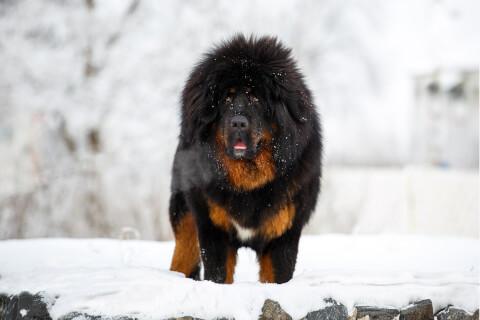 チベタンマスティフ 犬 人気 犬種 種類 大型 名前 小型 体重 寿命
