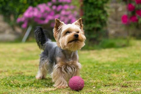 ヨークシャーテリア 犬 人気 犬種 種類 大型 名前 小型 体重 寿命