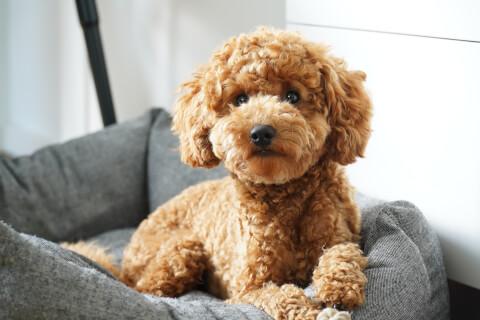 トイプードル 犬 人気 犬種 種類 大型 名前 小型 体重 寿命