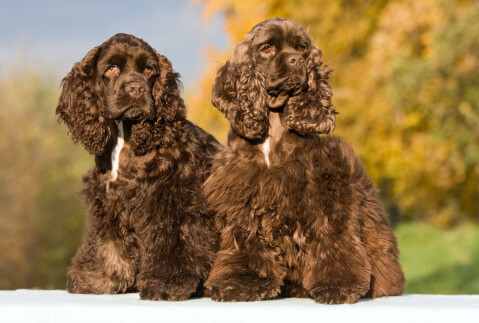 アメリカンコッカースパニエル 犬 人気 犬種 種類 大型 名前 小型 体重 寿命