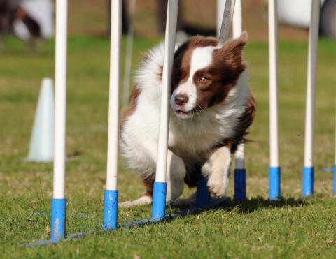 アジリティ 犬種 トレーニング 年齢 教室 怪我