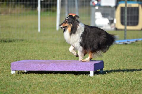 アジリティ 犬種 トレーニング 年齢 教室