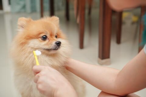 犬の歯磨き、必要、方法、グッズ