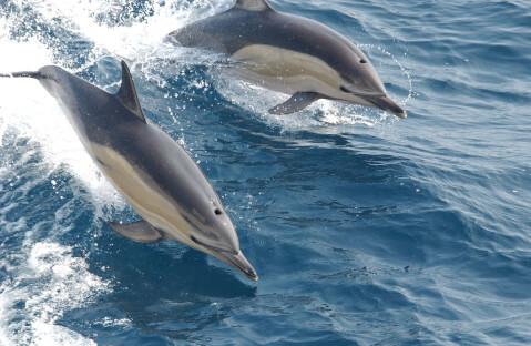 2匹並んで水面を泳ぐイルカ