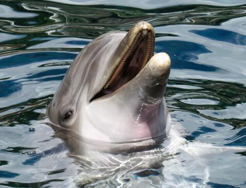 水面から顔を出すバンドウイルカ