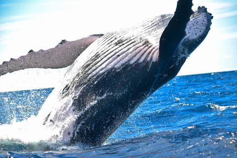 海面をジャンプするクジラ