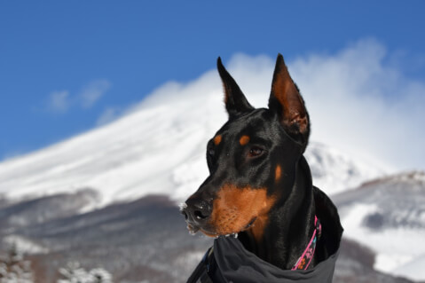 ドーベルマン 性格 子犬 耳 ブリーダー