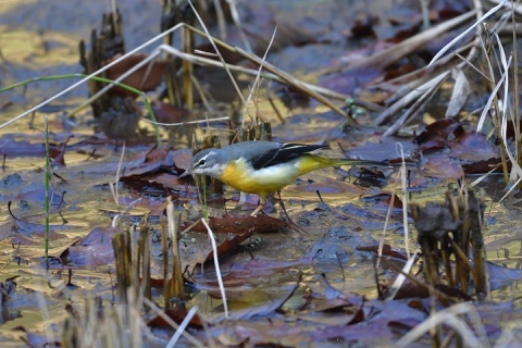 ecology_o_grey_wagtail