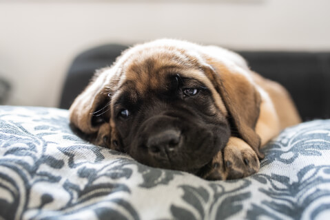 イングリッシュマスティフの子犬の値段