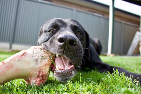 骨を食べるイングリッシュマスティフ