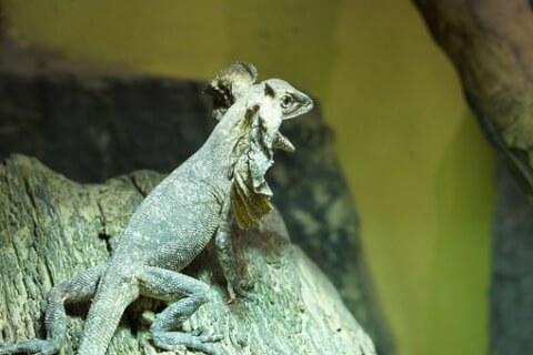 エリマキトカゲ 飼育 走る cm 値段 ブーム 販売