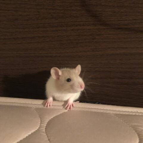 ファンシーラット 小動物 ペット