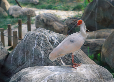 features_of_crested_ibis