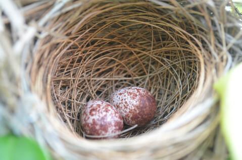 巣の中にある卵2つ