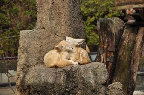 岩の上にいる2匹のフェネック