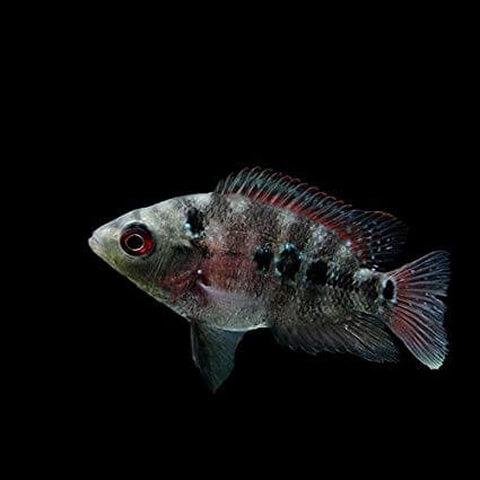フラワーホーン稚魚 アマゾン