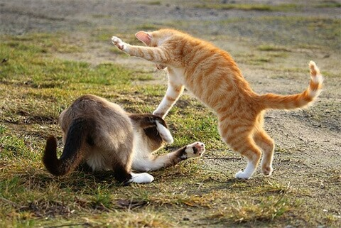 cat-fight