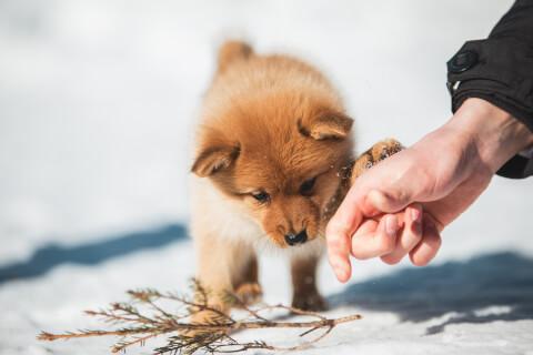 前足を手にかけるフィニッシュスピッツ子犬