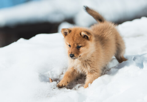 雪で遊ぶフィニッシュスピッツの子犬