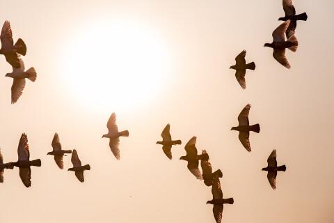flypigeons