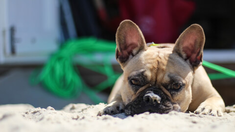 french-bulldog_0