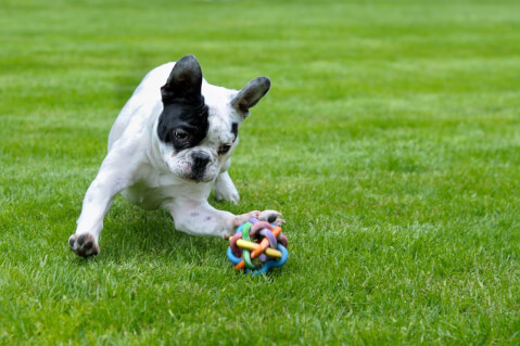 french-bulldog_2