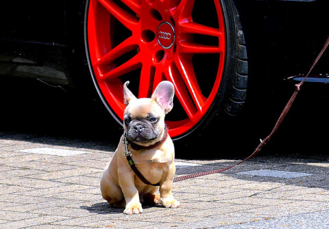 french-bulldog_5