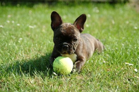 french-bulldog_6