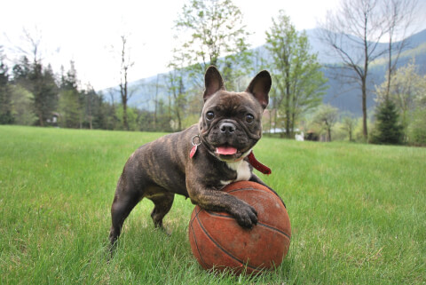 french-bulldog_7