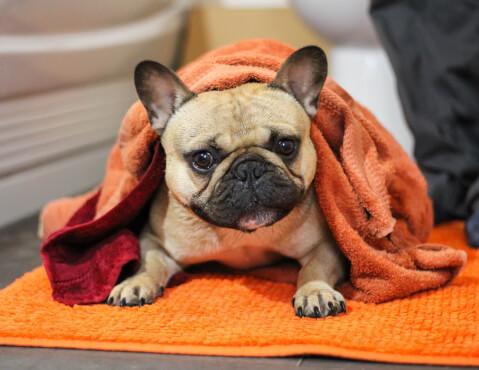 フレンチブルドッグ 飼い方 値段 寿命 子犬 体重 ペット