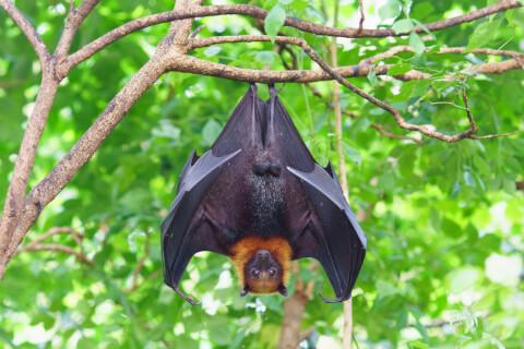 オオコウモリ 大きさ 日本 生息地 ペット