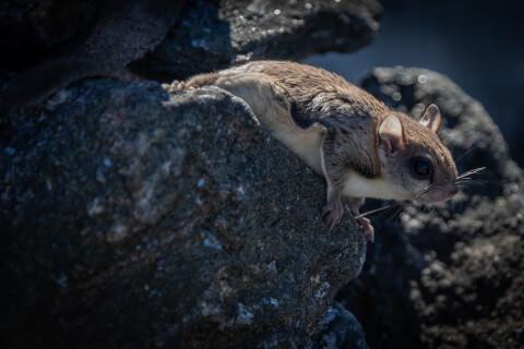 岩の上にいるアメリカモモンガ