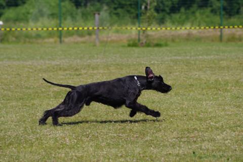 走る黒いジャイアントシュナウザー