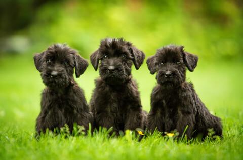 ジャイアントシュナウザー子犬3匹