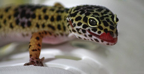 gecko-tongue