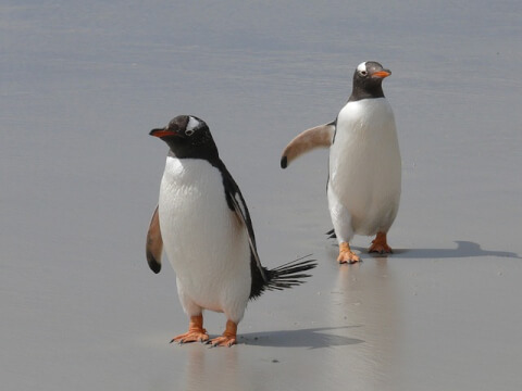 元記事より 2羽のジェンツーペンギン